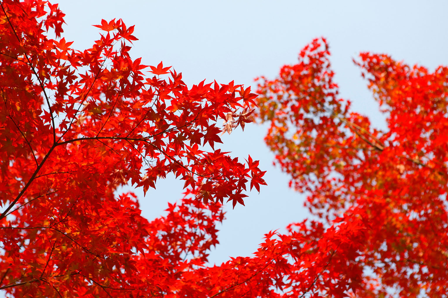 red-autumn-leaves-1530x1020px